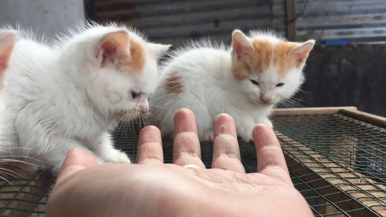 Hasil Perkawinan Kucing Persia Flatnose Dengan Peaknose Pratama Blog