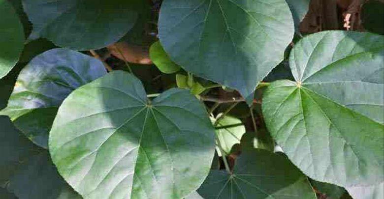 Manfaat daun waru