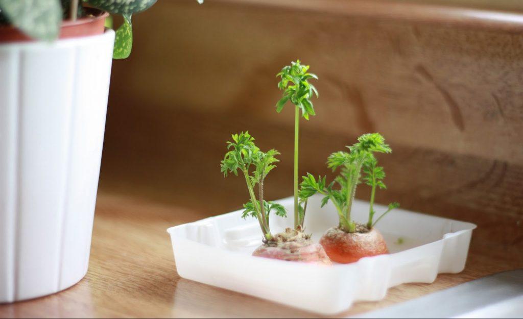 Perkembangbiakan vegetatif Wortel