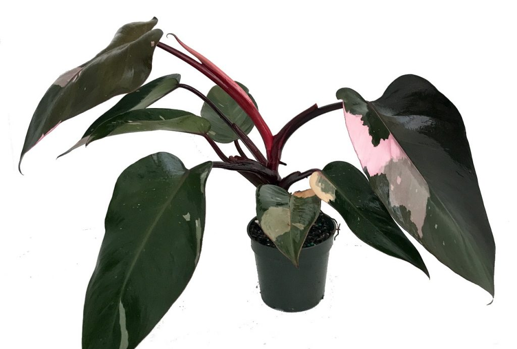 Philodendron Burgundy