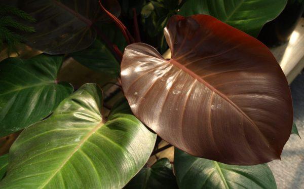 Philodendron Garuda