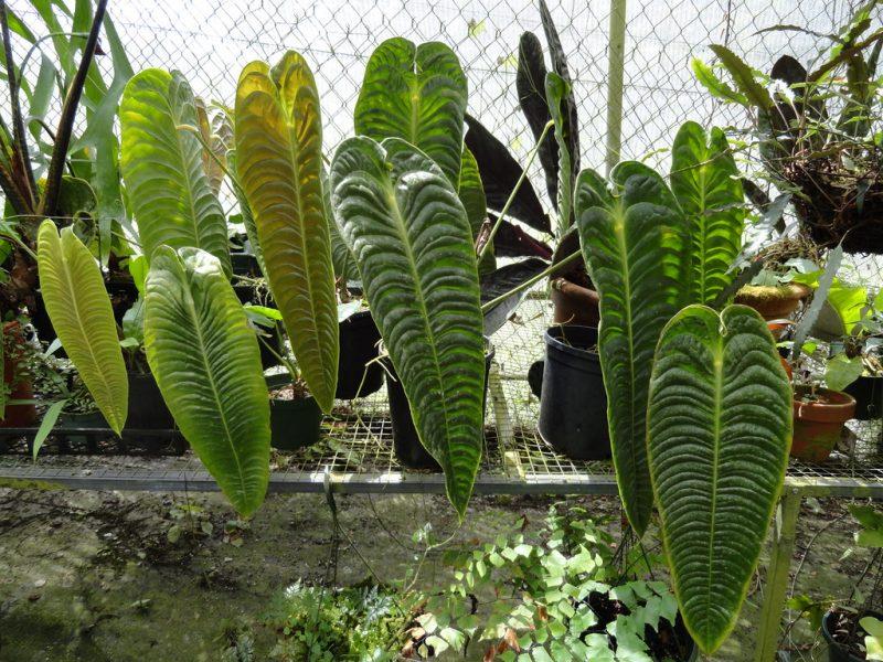 Anthurium Veitchii