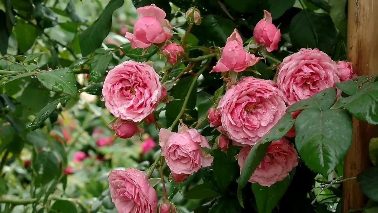 Cara merawat mawar
