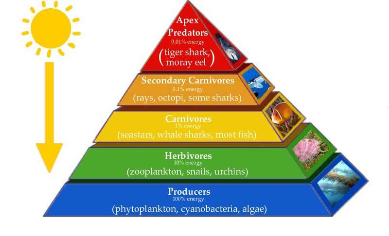 Piramida ekologi